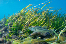 A Young Largemouth Bass (Micropterus Salmoides) Patrols Its Territory Around An Eel Grass Bed. Largemouth Bass Are Highly Prized By Sport Fishermen, And Are The State Freshwater Fish Of Florida.
