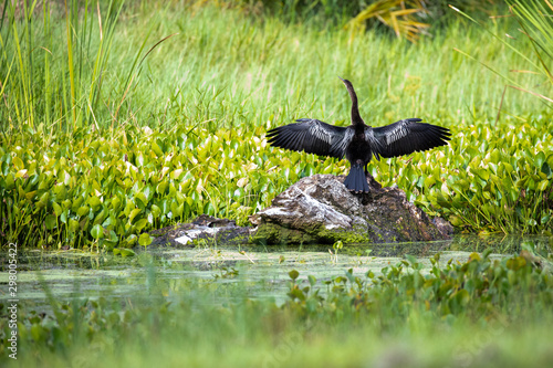 An Anhinga (Anhinga anhinga) spreads it wings to dry on a rock in a Florida pond Canvas Print