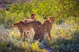Fototapeta Sawanna - Three cheetahs in the Etosha National Park
