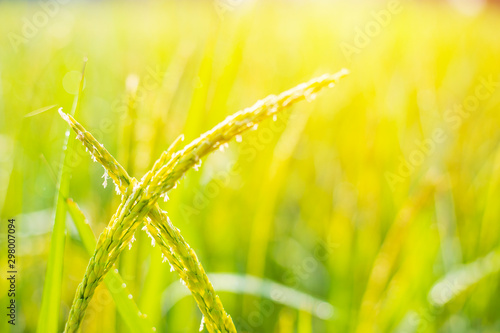 Foto auf Gartenposter Gelb Water Droplet on Rice Ear,Beautiful rice fields