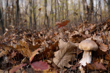 White Mushrooms In The Autumn Forest On The Background Of Yellow Leaves