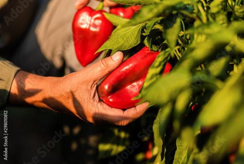 Fotografía Close up of senior farmer standing in paprika field examining vegetables