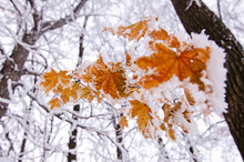 Bright Orange Maple Leaves Cov...