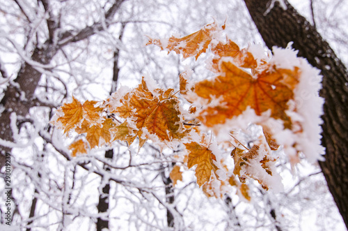 Fotomural Bright orange maple leaves covered with white snow, winter frosty day