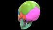 Human Skeleton System Skull Parts Anatomy