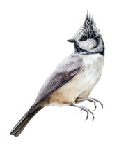 Crested Tit Bird Watercolor Illustration. Hand Drawn Close-up Wild Nothern Small Songbird With A Crest Isolated On White Background.