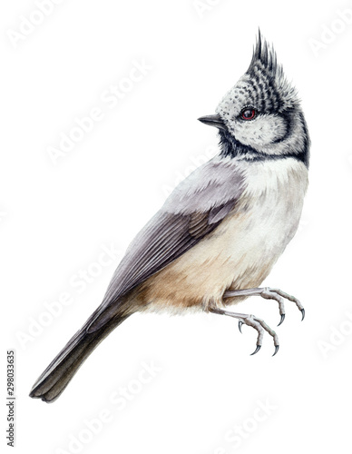Slika na platnu Crested tit bird watercolor illustration