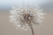 Round Fluffy Dandelion In Wate...