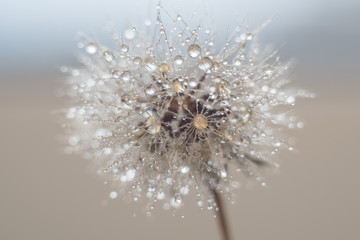 Round fluffy dandelion in water drops and bokeh on a delicate blue background