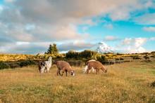 Lamas And Alpakas Standing In ...