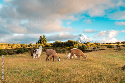 Lamas and Alpakas standing in grasslands of the Cotopaxi National Park, behind them the Cotopaxi volcano with snowy peak, idyllic setting of Ecuador, South America
