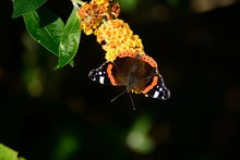 Red Admiral Butterfly On Yellow Buddleia Blossom