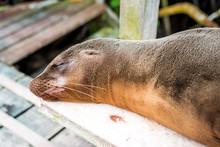 A Lazy Sea Lion Sleeps On A Park Bench At The Beach, Galapagos Islands, Ecuador, South America