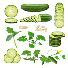 Fresh Cucumber Set, Vector In Realistic Style