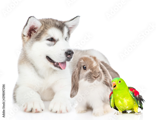 Alaskan malamute puppy lies with rabbit and parrot. isolated on white background © Ermolaev Alexandr
