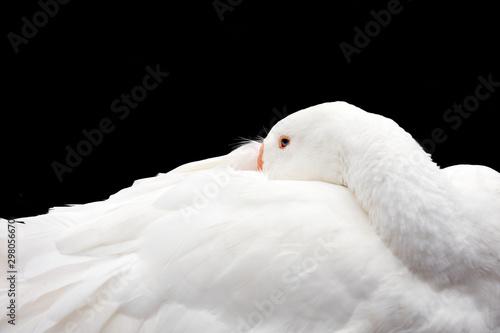 Spoed Fotobehang Zwaan White goose on black background. Portrait of a white goose on a black background.