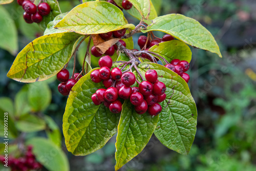Fotografie, Tablou  Dogwood or Cotoneaster berries in autumn