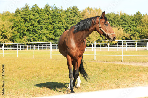 Chestnut horse in bridle on green pasture