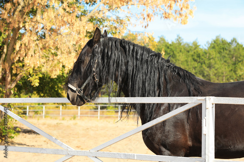 Papel de parede Beautiful Friesian horse at white fence outdoors