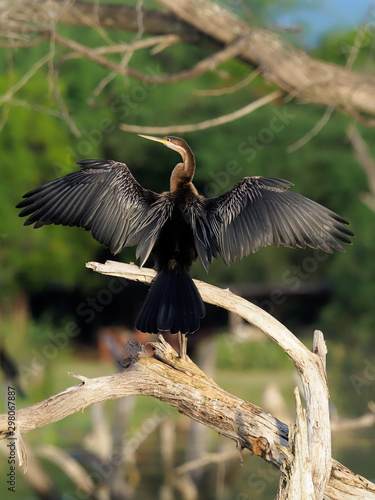Fotografie, Tablou African darter, Anhinga rufa