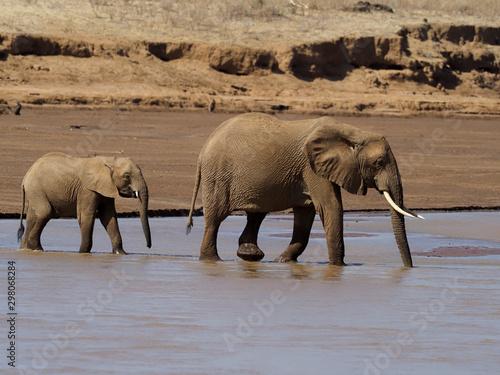 African elephant, Loxodonta africana Canvas Print