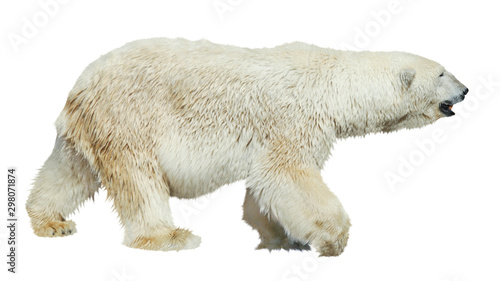 Photo sur Toile Ours Blanc Polar bear isolated