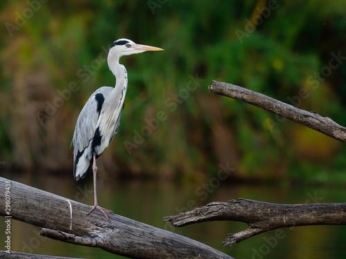 Grey heron, Ardea cinerea Canvas Print