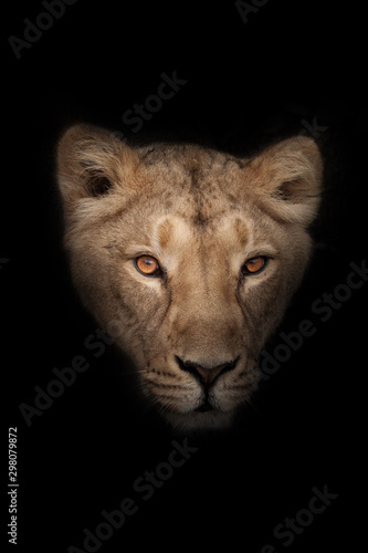 head of a female lioness with a penetrating gaze of  (ebony) eyes isolated on black background Wall mural