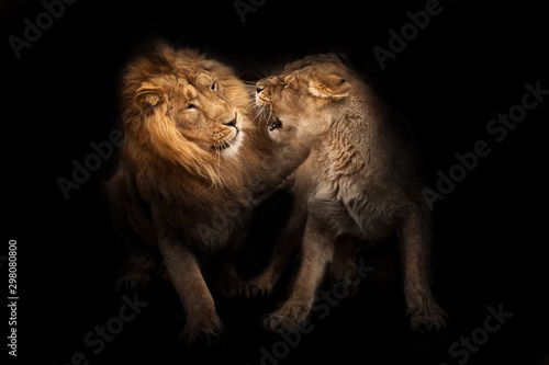 Poster de jardin Lion love of lions. Lion male and lioness female conflict the lioness snarls, a symbol of family relations and conflicts. heads, isolated black background