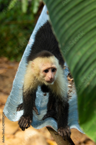 Photo White-Faced Capuchin Monkey in Costa Rica 1