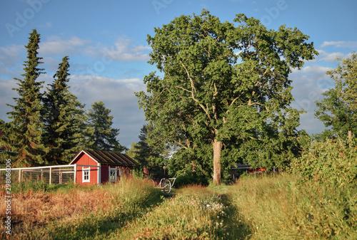 Vászonkép Countyside landscape with big branchy tree, field road small finnish house, pine tree, summer evening