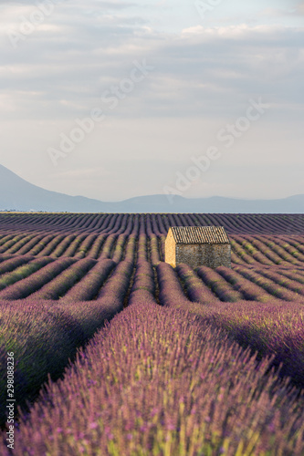 Garden Poster Lavender Lavender Field during Sunrise against Mountain and blue sky with a small House, Provence, France
