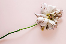 Dried Rose On Colored Background