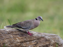 Mourning Collared Dove, Or Afr...