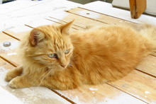 Ginger Cat Resting On A Wooden...