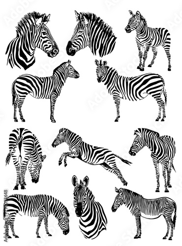 Cuadros en Lienzo Graphical set of zebras isolated on white background,vector illustration for tat
