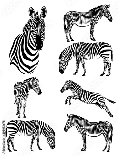 Fotografía Graphical set of zebras isolated on white background,vector illustration for tat