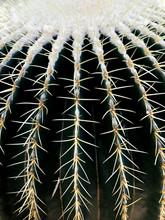 Echinocactus Grusonii – Gold...