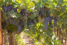 Ripe Blue Wine Grape Bunches With Lush Foliage Growing On Bushes At Vineyard In Summer