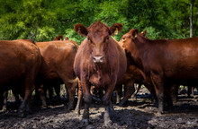 Herd Of Cows On Countryside Farm