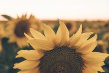 Scenic Landscape Of Sunflower ...