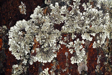 Closeup Of Natural Abstract Lichen Growing On Bark Of Old Tree