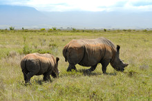Portrait Of Two Rhinos Grazing In The African Savannah