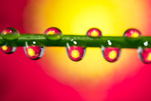 Red Gerber Daisy Reflection In Drops Of Water On Small Branch.