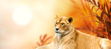African Female Lion And Sunset In Africa. Savannah Safari Landscape With Palm Trees, King Of Animals. Spectacular Warm Sun Light, Red Cloudy Sky. Portrait Of Pride Dreaming Lioness In Savanna