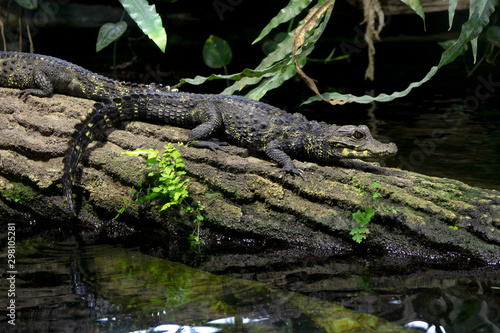 Recess Fitting Crocodile Junges Krokodil