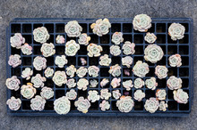 Fresh Rosette Succulent Plant Are Waiting To Replant