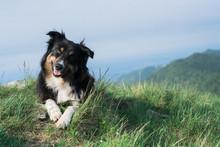 Funny Border Collie Dog Portra...