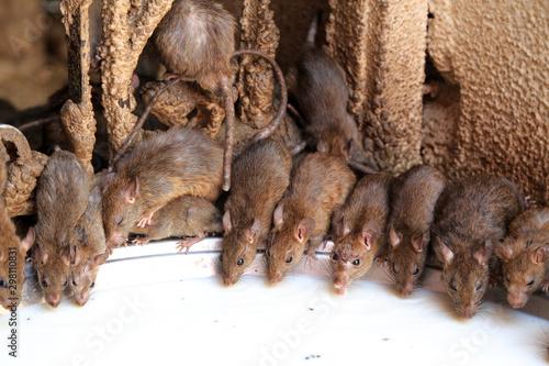 Valokuvatapetti Karni Mata Ratten-Tempel (Indien)