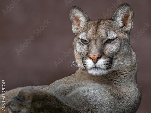 La pose en embrasure Puma Cougar (Puma concolor)